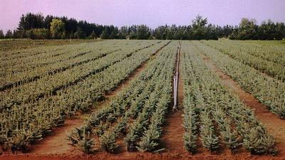 Christmas tree farming in Ontario can be a great full- or part-time occupation.