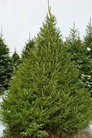 white spruce picea glauca - White Spruce Christmas Tree