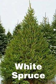 Christmas Tree Types.Your Guide To Ontario Farm Grown Christmas Trees