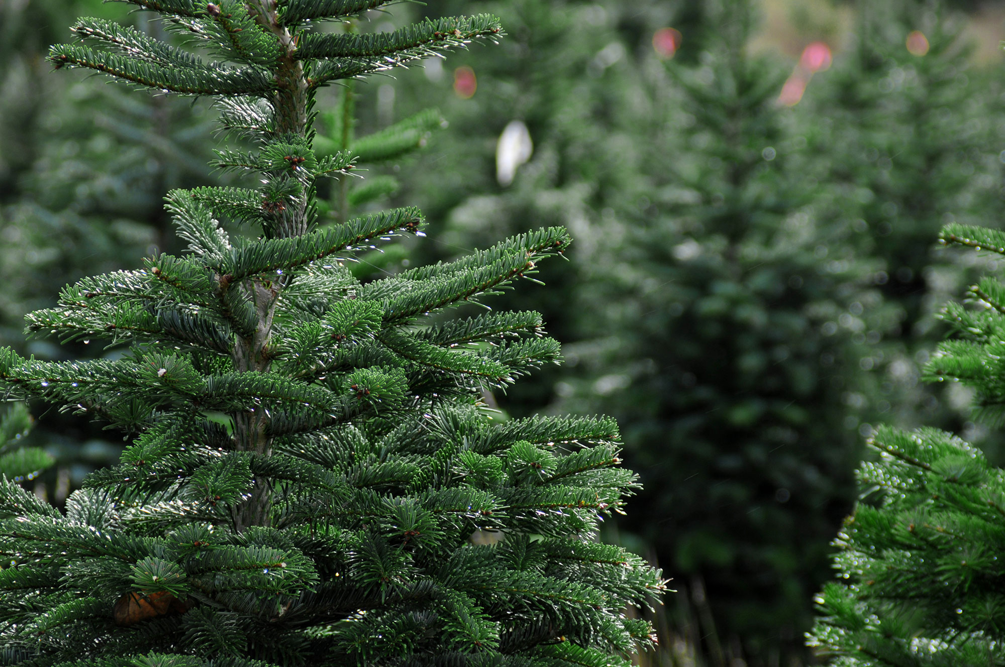 Types Of Fresh Christmas Trees